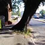 Ruch pod wiązem na Wiązowej zamknięty. Co dalej z zabytkowym drzewem?